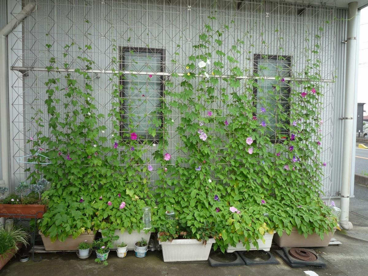 20110724-グリーンカーテン.jpg